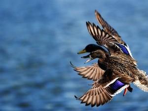 В Хабаровском крае диких уток проверили на птичий грипп