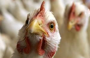 В Египте ребенок стал жертвой птичьего гриппа
