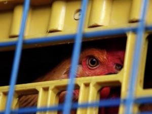 На двух фермах Канады обнаружен птичий грипп
