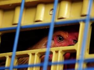 Птичий грипп выявлен на юго-западе Японии, будут уничтожены 4 тыс кур