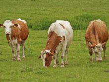 Источником лекарства против лихорадки Эбола могут стать коровы