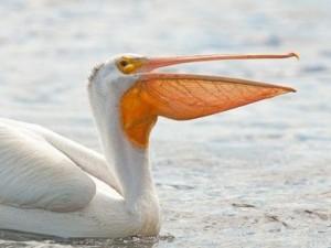 Пеликаны разносят по Израилю птичий грипп