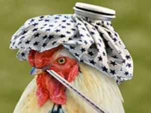 В Нидерландах снова бушует птичий грипп