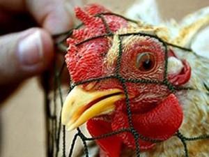 Россия из-за птичьего гриппа запретила ввоз канадской живой птицы
