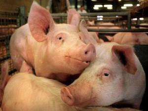 В конце сезона в Липецкую область пришёл «свиной грипп»