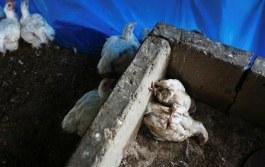 В США может вспыхнуть мощная эпидемия птичьего гриппа