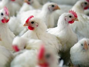 Открыты три новых штамма вируса птичьего гриппа
