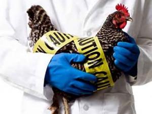 США: Птичий грипп привел к гибели 20 миллионов кур и пяти миллионов индеек