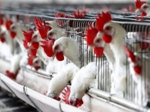 США: Птичий грипп в США привел к дефициту яиц и росту запасов курятины