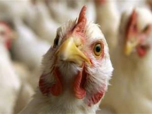 В Туве сохраняется птичий грипп