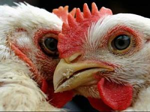 Турция: птичий грипп возвращается