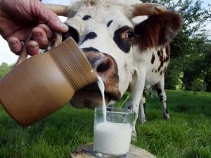 Парное молоко смертельно опасно