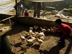 Птичий грипп из сектора Газы угрожает Израилю