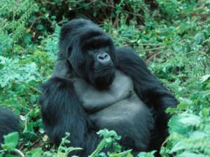 Похожие на ВИЧ вирусы поразили обезьян еще 16 млн лет назад