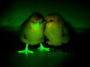 Светящиеся в темноте: ГМО против птичьего гриппа