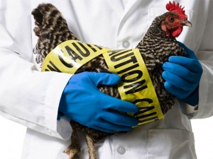 Птичий грипп витает в воздухе
