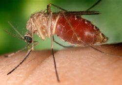 Генная инженерия превратит малярийных комаров в безобидных насекомых