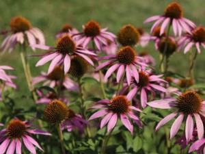 Растения, которые избавят от зимних простуд