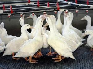Южная Корея: Птичий грипп добрался до утиных ферм
