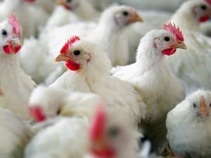 Из-за угрозы птичьего гриппа в Литву запрещен ввоз мяса птицы из Франции