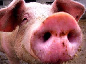 В Россию идет свиной грипп: что нужно знать о вирусе и как защититься