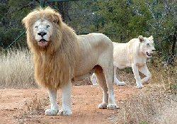 Туберкулез не щадит и львов: эпидемия среди «царей зверей» в ЮАР