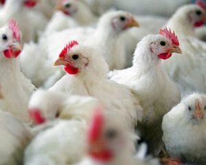 В Камеруне на птицеводческой ферме обнаружен птичий грипп