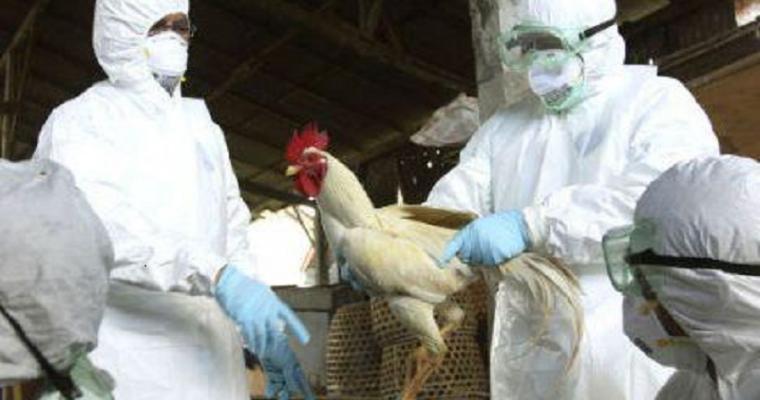 Птичий грипп вновь атакует Китай
