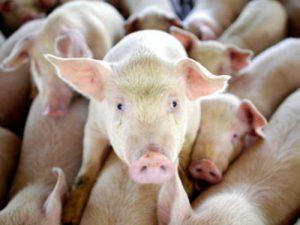 Ученые выяснили родину эпидемии свиного гриппа H1N1