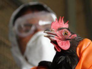 Третий за год случай заражения птичьим гриппом выявлен в Пекине