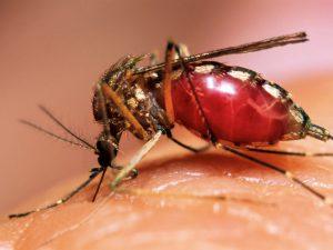 В 2016 году в России зарегистрировано более 80 случаев лихорадки денге