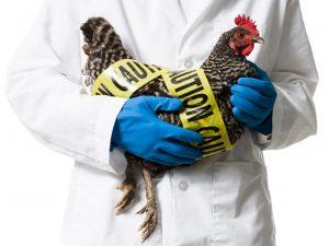 В РФ обнаружили штамм вируса птичьего гриппа