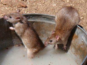 Борьба с крысами: мелкие животные, большие проблемы