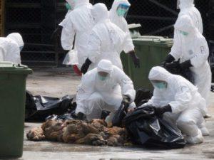 Птичий грипп распространяется по территории Южной Кореи