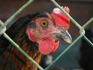 В Китае заявили, что птичий грипп начал мутировать