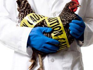 Приморскому краю может грозить птичий грипп