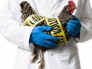 Можно ли подцепить птичий грипп в мясном отделе?