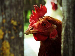 Из-за птичьего гриппа в Московской области уничтожили более 330 тыс. птиц