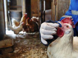 Птичий грипп уже недалеко от Владимира