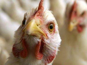 В Курской области занялись профилактикой птичьего гриппа