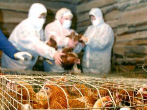 На птицефабрике под Ростовом нашли птичий грипп