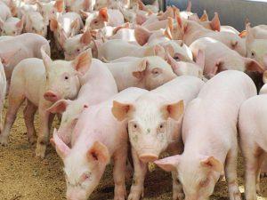 Вьетнам: Хошимин борется с проблемой распространения свиного гриппа