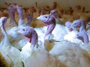 Россельхознадзор нашел птичий грипп у крупнейшего производителя индейки