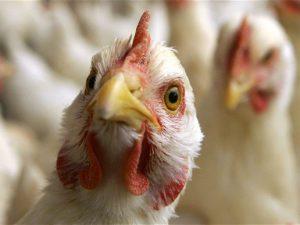 Птичий грипп заражает людей в «окаменевшем» виде