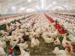 Использование антибиотиков на птицефермах в Азии способствует распространению птичьего гриппа