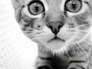 Микоплазмоз кошек и собак