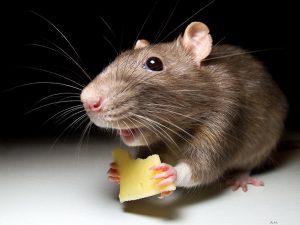 Найдено вещество, способное улучшить работу мозга при синдроме Дауна (у мышей)