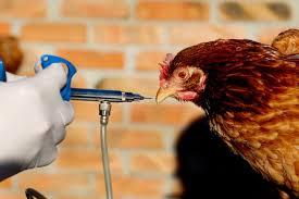 Эпидемия птичьего гриппа