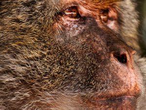 Ученые выяснили, как обезьяна заразила человека ВИЧ