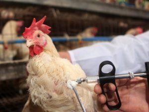 Вспышка птичьего гриппа в Саудовской Аравии